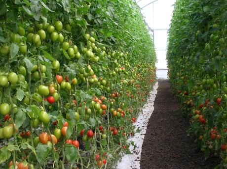 Mexico: Guanajuato increases export of greenhouse red ...