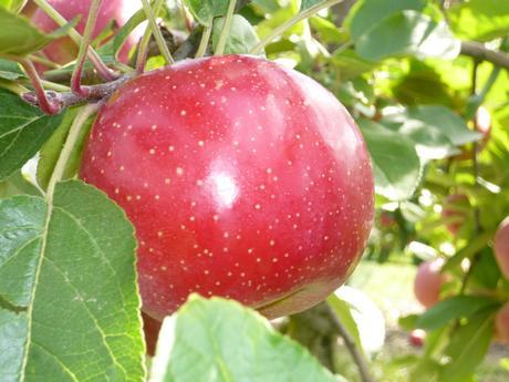 Francia cresce la produzione di mele ariane presso la - Mele fuji coltivazione ...