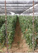 Rete frangivento per agrumi