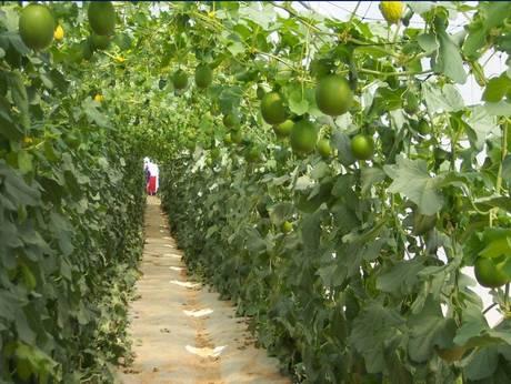 Agrexco presenta la sua linea vincente di meloni for Melone coltivazione