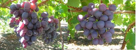 High court rulings in south africa have boosted the future table grape