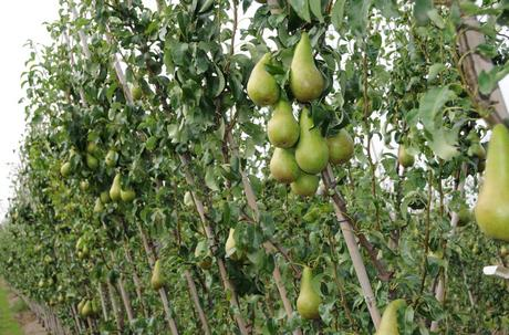 High Intensity Pear Orchard