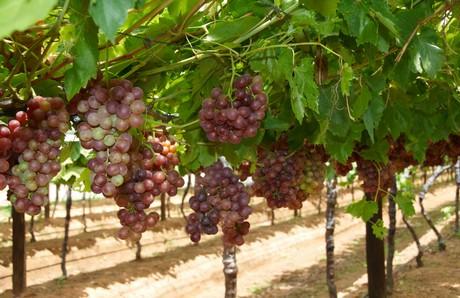 Sudafrica in calo le esportazioni di uva da tavola verso - Red globe uva da tavola ...