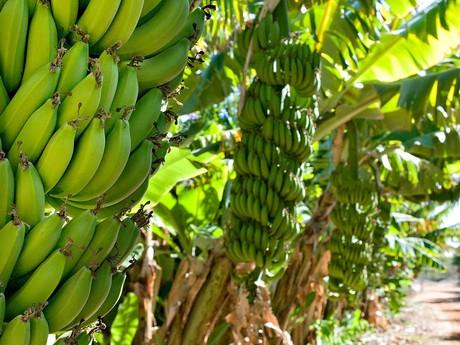 Australia Climate Key To Slow Sweet Bananas