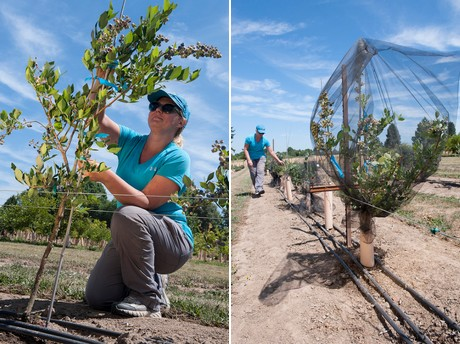 us: blueberry tree research could help growers branch out