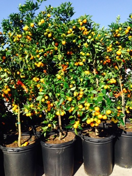 Due To The Large Number Of Insects And Diseases Which Affect Citrus Trees Saxon Sons Has Recently Made Several Upgrades Their Nursery Facility