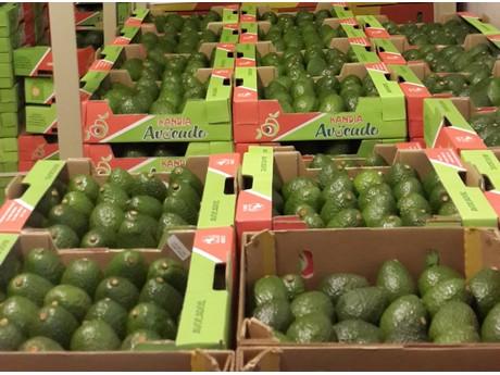 Kenya: A promising avocado season for Kandia