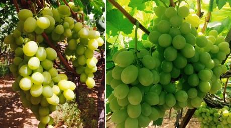 Israele buone le esportazioni di uva da tavola in europa - Uva da tavola precoce ...