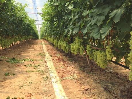 Grecia buone prospettive per la campagna dell 39 uva da tavola - Uva da tavola coltivazione ...