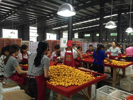 FreshPlaza com : Baby mandarin export season starts in China