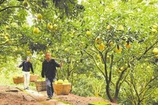 What Is A Pummelo: Tips For Growing A Pomelo Tree