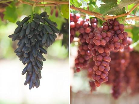 Brasile le nuove cultivar di uva da tavola guadagnano - Red globe uva da tavola ...