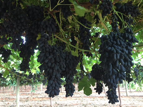 Australian Sweet Sapphire Grapes In Demand In China