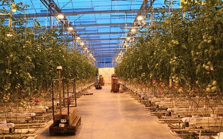 "Canada(ON): ""Perfect"" season for greenhouse tomatoes-on-the-vine"