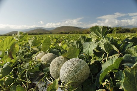 US: Cantaloupe imports steady while honeydew production has been light
