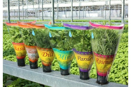 fresh hydroponic herbs grown with california s geothermal energy