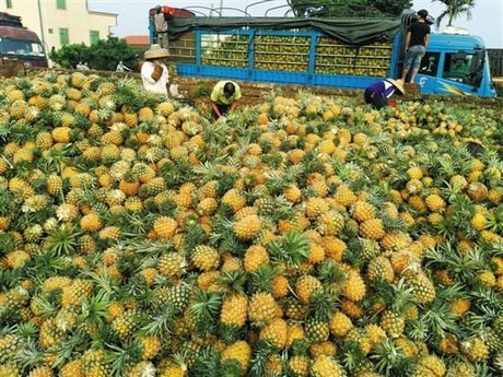 pineapple production
