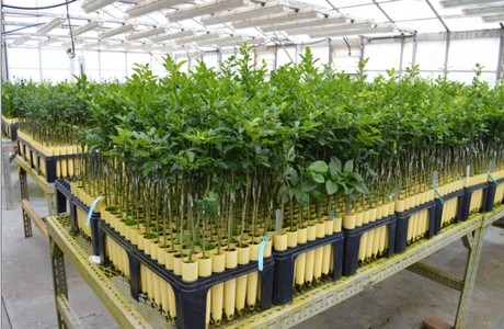 They Curly Have The Capacity To Grow 90 000 Plants Per Season 18 Months Is Optimal Growing Time Before Tree Goes Grower