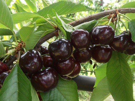 Greece new cherry cultivar makes debut - Romanian cherry tree varieties ...