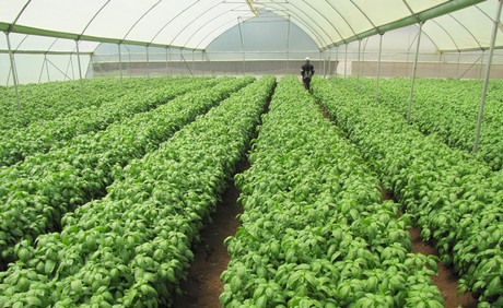 For Simon Andys Who Is The Founder Premier Seed One Of Companies Involved In Growing And Exporting Basil Kenya Future Looks Bright As