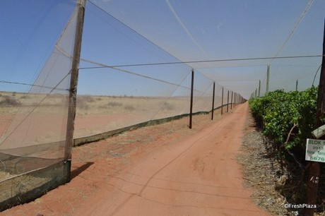 Vineyards under netting perform far better in a dry hot climate