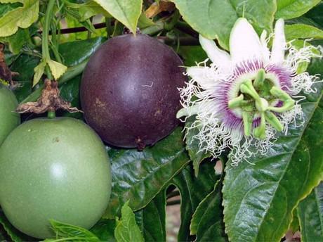 Zimbabwe Farmer To Supply 800k In Pion Fruit Peas
