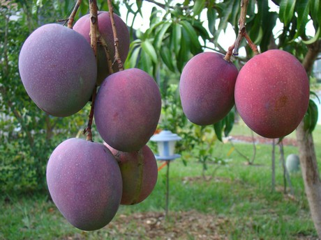 Guatemala benefits from low mango supply in Mexico