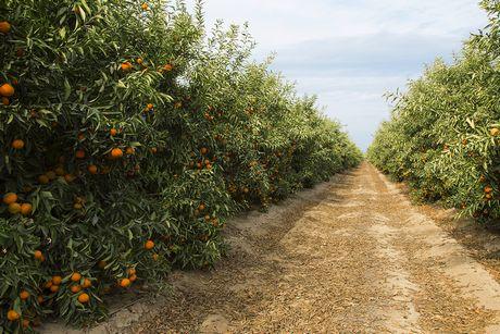 wonderful citrus ve potencial en el pomelo