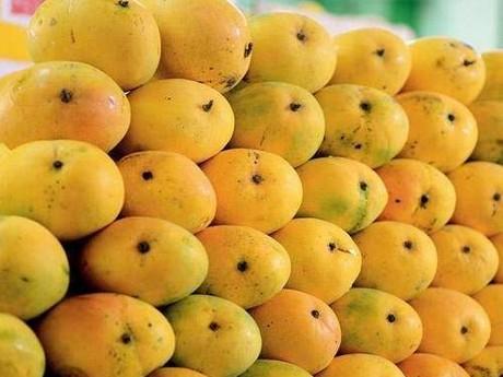 Regular season for organic mangoes from India