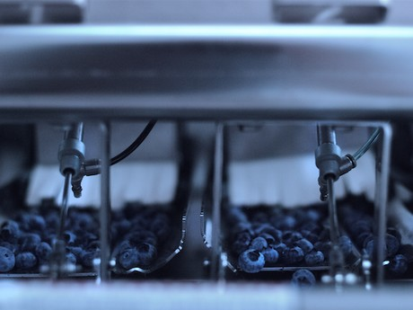 Blueberries in packing machine
