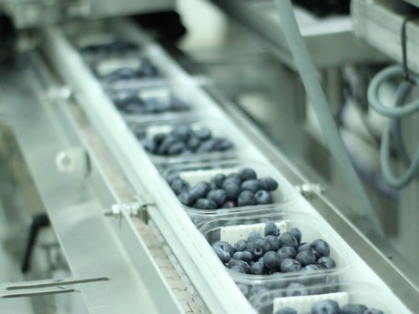 Packed blueberries leave packing machine