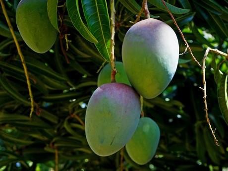 I mango bio messicani sono senza concorrenti sul mercato USA 76164e40203