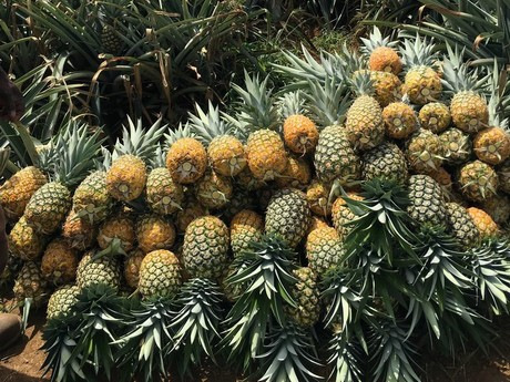 dominican republic fast growing pineapple production. Black Bedroom Furniture Sets. Home Design Ideas