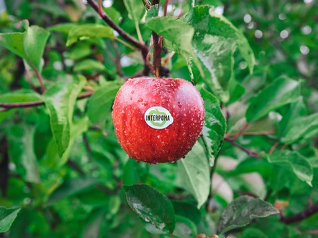 Big Drop In European Apple Production As Interpoma