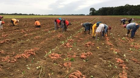 Carolina del nord usa meno ettari piantate a patate dolci for Cabina nelle montagne della carolina del nord