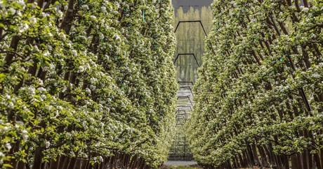 Apples On The Vine An Innovative Method To Grow Fruit Trees