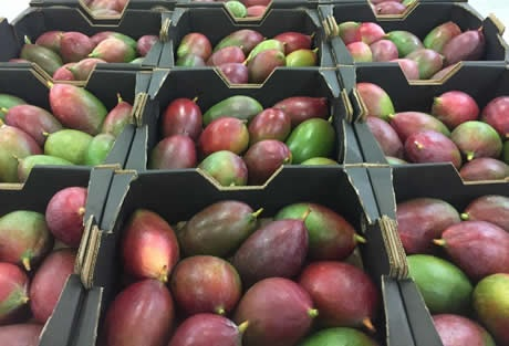 Kick Off For South African Mango Season