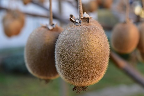California Kiwi Fruit Season Turns From Harvesting To Packing
