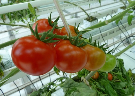 Greenhouse tomatoes out of Mexico seeing solid production