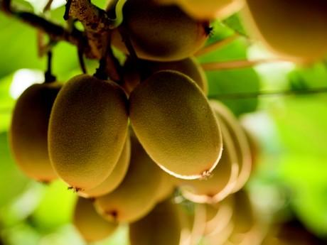 After Large New Zealand Kiwi Fruit Small Italian Ones Followed