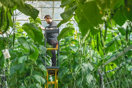 Ontario greenhouse grower gains presence in cucumber category