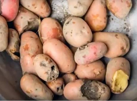 7ffeaa664a4 Meeldauwbestendige GMO-aardappel mogelijk redding Ugandese ...