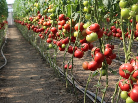 Ukrainian tomato growers investing in greenhouses and new