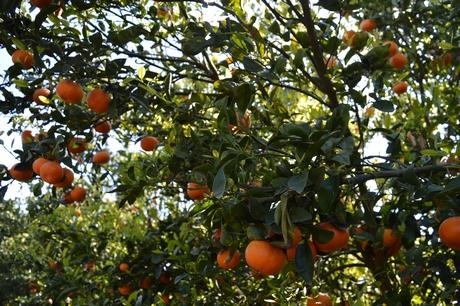La campaña y los expositores en las tiendas impulsan las ventas de  mandarinas Halos 9dce9621b97