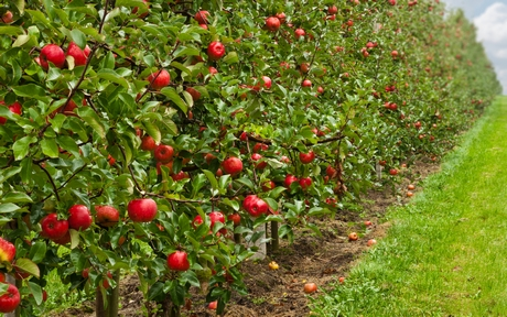 High-density apple plantation demand increases in India's