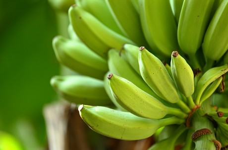 Bananas currently in good supply, but demand is low