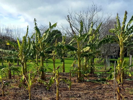Backyard Cash Crops big plans for new zealand's commercial banana plantation
