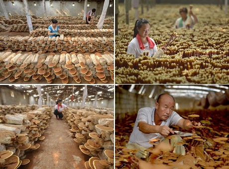 Lingzhi mushroom cultivation increases farmers' income