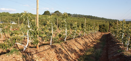 South Africa: Avocado farm looks to apple cultivation for