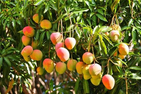 Mango Tommy Atkins Images